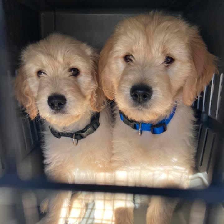 Golden-doodle-puppies(1)
