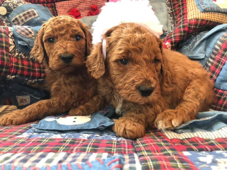 Puppies-avaiilable